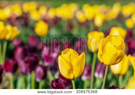 Blooming Tulip Field, Flower With Green Leaf In Sunlight With Blurrred Colorful Tulips As Background