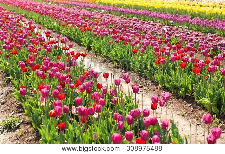Blooming Tulip Field, Rows Of Flower With Green Leaf In Sunlight With Blurrred Colorful Tulips As Ba