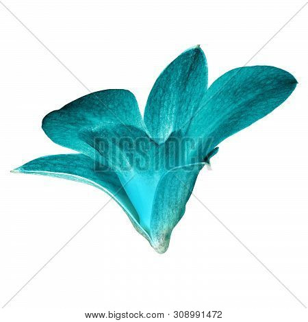 Cyan White Orchid Flower Isolated White Background With Clipping Path. Flower Bud Close-up. Nature.