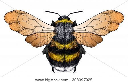 Honey Bee Tattoo. Bee With Transparent Wings. Dotwork Tattoo. Symbol Of Diligence, Economy, Purity,