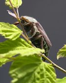 may beetle sitting on a twig with fresh leaves in grey back poster