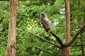 the great grey owl or great gray owl, Strix nebulosa, documented as the worlds largest species of owl by length , poster