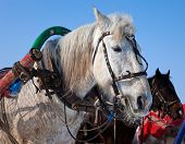 Head of white horse with harness. Photo taken in winter in Russia poster