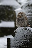 Tawny owl sit on the gravestone - Strix Aluco poster