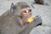 a monkey smelling a banana before eating it poster