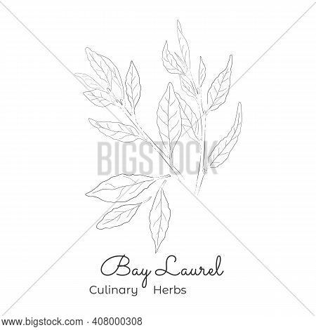 Hand Drawn Sketch Of Laurel Or Bay Tree. Silhouette Of A True Laurel Twigs And Leaves Isolated On Wh