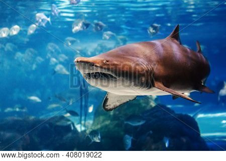 Giant Scary Shark Under Water In Aquarium. Sea Ocean Marine Wildlife Predator Dangerous Animal Swimm