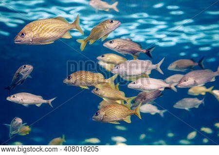 Shoal Group Of Tiny Small Tropical Fish Under Water In Aquarium. Sea Ocean Marine Wildlife Animals S