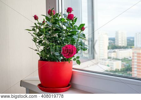 Red Rose In Pot Stand On The Windowsill On The Balcony