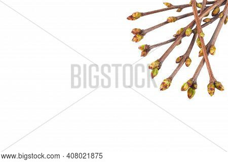 Buds Of Lilac. Lilac Buds In Spring. Green Leaf Buds On A Lilac Branch With A White Background. Isol