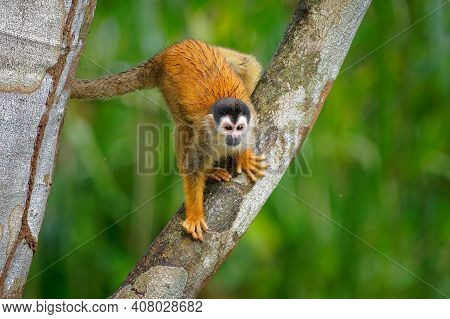 Central American Squirrel Monkey - Saimiri Oerstedii Also Red-backed Squirrel Monkey, In The Tropica