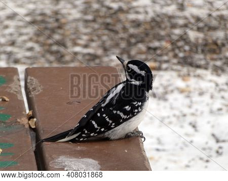 Colorful Woodpecker Bird Sitting On The Bench