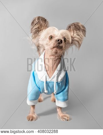 Closeup Front Portrait Of Cute Chinese Crested Dog. The Pet Wear Blue Colour Clothes
