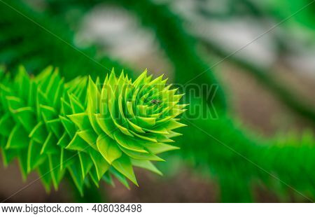 New Araucaria Evergreen Conifer  Growing In Park