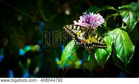 Butterfly On Pink Flower & Tree Leaves In Summer Sunlight Banner Background. Summer Tree Blossom & B