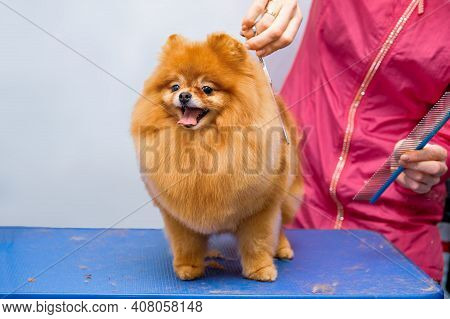 The Concept Of Popularizing Grooming Haircuts And Caring For Dogs. Model Haircut Of A Dogs Hair With