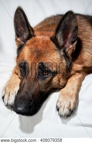 Cute Domestic Dog Lies With Its Paws Folded In Front Of Its Muzzle. Charming Black And Red German Sh