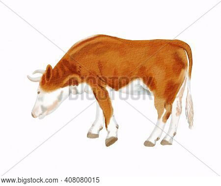 Reddish Pasturing Cow. Standing Simmental Heifer With Brown Color. Hand Drawn Watercolor Illustratio