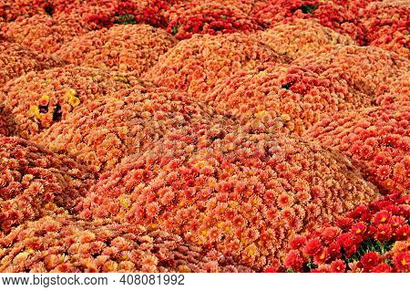 Red Orange Chrysanthemum Flowers Bush Autumn Background. Colorful Orange Chrysanthemum Plant Pattern