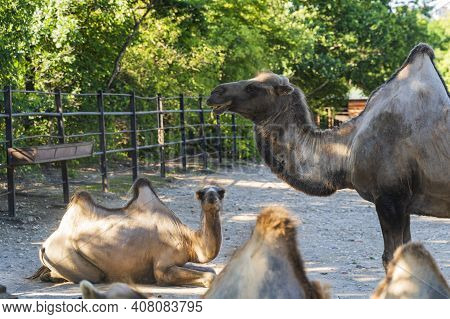 The Bactrian Camel, Camelus Bactrianus, Large, Even-toed Ungulate Native To The Steppes Of Central A
