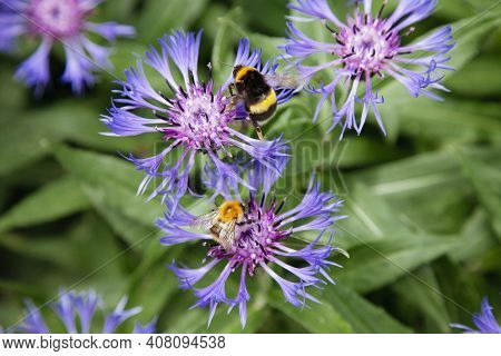 Cornflowers And Bees. Bees Extract Nectar From Cornflowers.