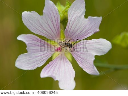 Bee In Flower, Macro Photo, Top View. Floral Background Of Pink Mallow Flower And A Small Wild Bee I