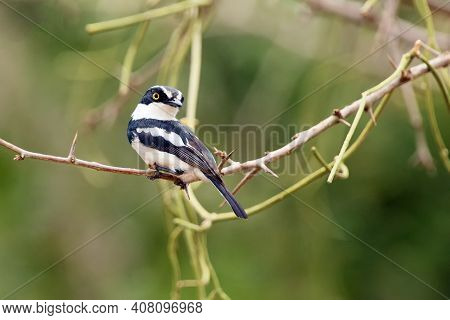 The Chinspot Batis (batis Molitor) Sitting On A Thorny Branch. A Small Black And White Passerine Fro
