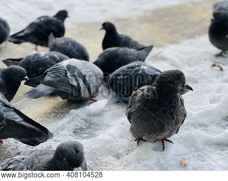 Close Up Of Pigeons On Street In Winter Season. Flock Of Birds Walking On Ground In Search For Food