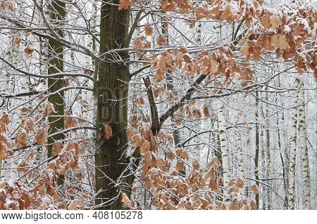 Lonely Oak On Background Of Young Birches With Black And White Birch Bark In Winter In Birch Grove A