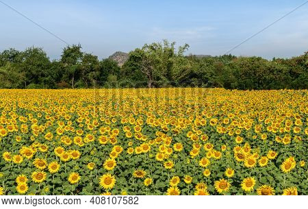 Beautiful Sunflower Field On Summer With Blue Sky  At Lop Buri Province,thailand