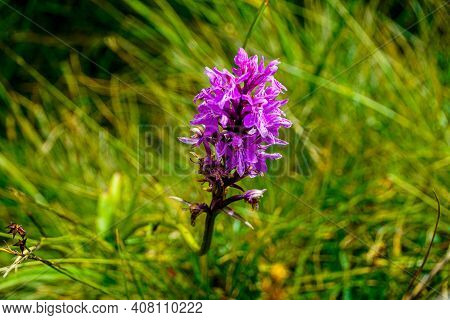 Beautiful Blossoms Of The Heath Spotted-orchid Dactylorhiza Maculata On A Meadow