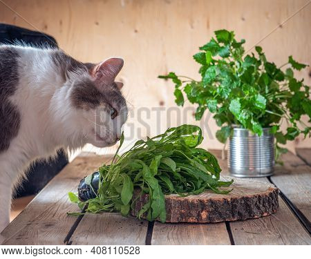 Fresh Bunches Of Greens On The Rustic Kitchen Table, Arugula And Mint. Fluffy Cat Tastes Arugula Lyi