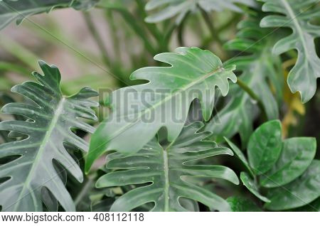 Philodendron Xanadu,philodendron Xanadu Croat Or Mayo And J Boos Or Philodendron