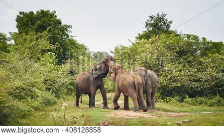 Three Elephant In The Wild Against Green Landscape. Wildlife Animals In Sri Lanka.