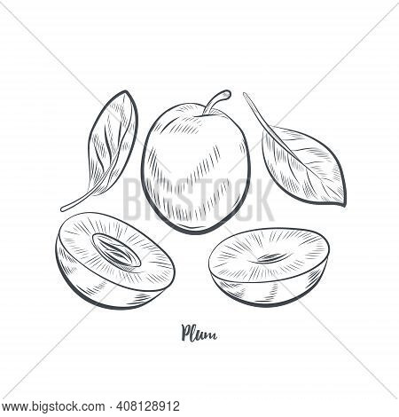 Plum Fruit Sketch Vector Illustration.hand Drawn Plum Isolated On White Background.