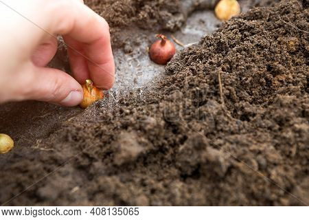 The Hand Plants The Bulbs In The Ground In The Garden.springtime, Garden Plants, Working On A Plot O