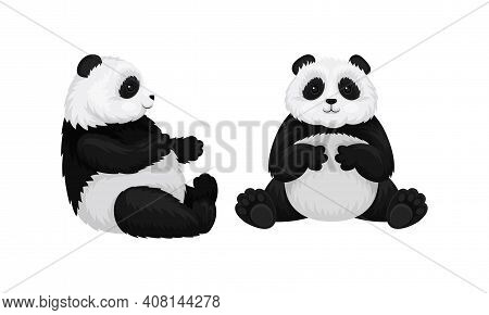 Giant Panda Or Panda Bear With Black Patches Around Its Eyes And Ears In Sitting Pose Vector Set