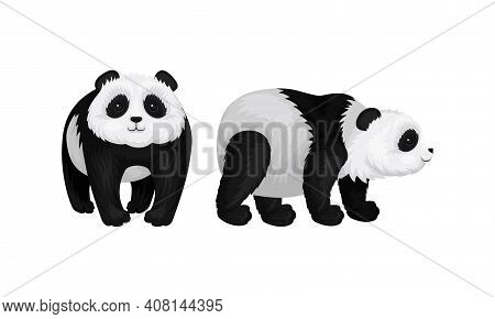 Giant Panda Or Panda Bear With Black Patches Around Its Eyes And Ears In Standing Pose Vector Set