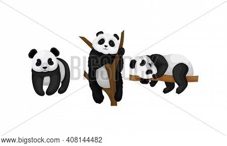 Giant Panda Or Panda Bear With Black Patches Around Its Eyes And Ears Sitting On Tree Branch And Sta