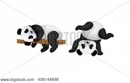 Black And White Panda Bear Or Giant Panda With Patches Around Its Eyes And Ears Lying On Tree Branch