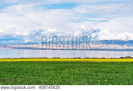 beautiful landscape in qinghai lake:cole flower