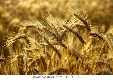 Detail Of Golden Barley Spikes