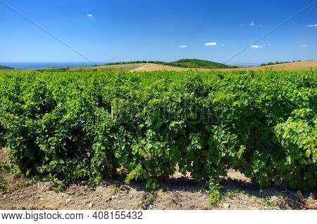 Amazing View Of Vineyard On Sunny Summer Day. Growing Grapes Is A Traditional Direction Of Farming I
