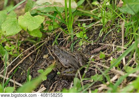 Wild Frog Close Up View While Resting On Pond Ecosystem, Amphibian Animals