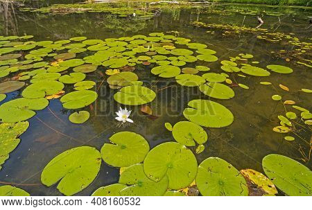 Lily Pads On A Wilderness Lakeshore In The Sylvania Wilderness In Michigan