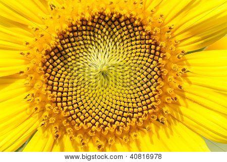 Sonnenblumen-Makro-Detail.