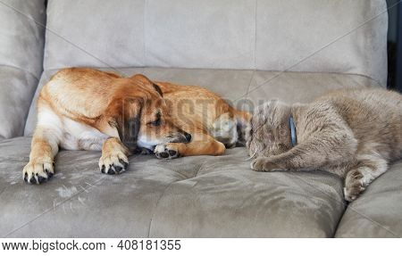 Cute Ginger Dog With Hanging Ears Sits On The Sofa Next To A British Cat.