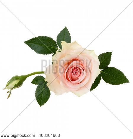 Pink rose isolated over white background closeup. Rose flower head in air, without shadow. Top view, flat lay.