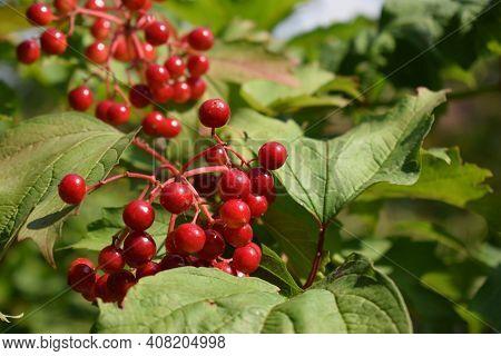 Macro Photo Nature Viburnum Berries. Nature Plant Tree Brunch Of Viburnum. Red Juicy Viburnum Berrie