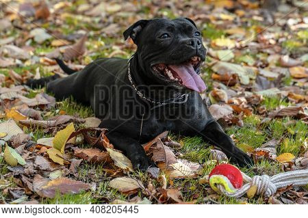 Playful Dog Of Staffordshire Bull Terrier Breed, Black Color, Smiling Face, Lying Down On Grass With